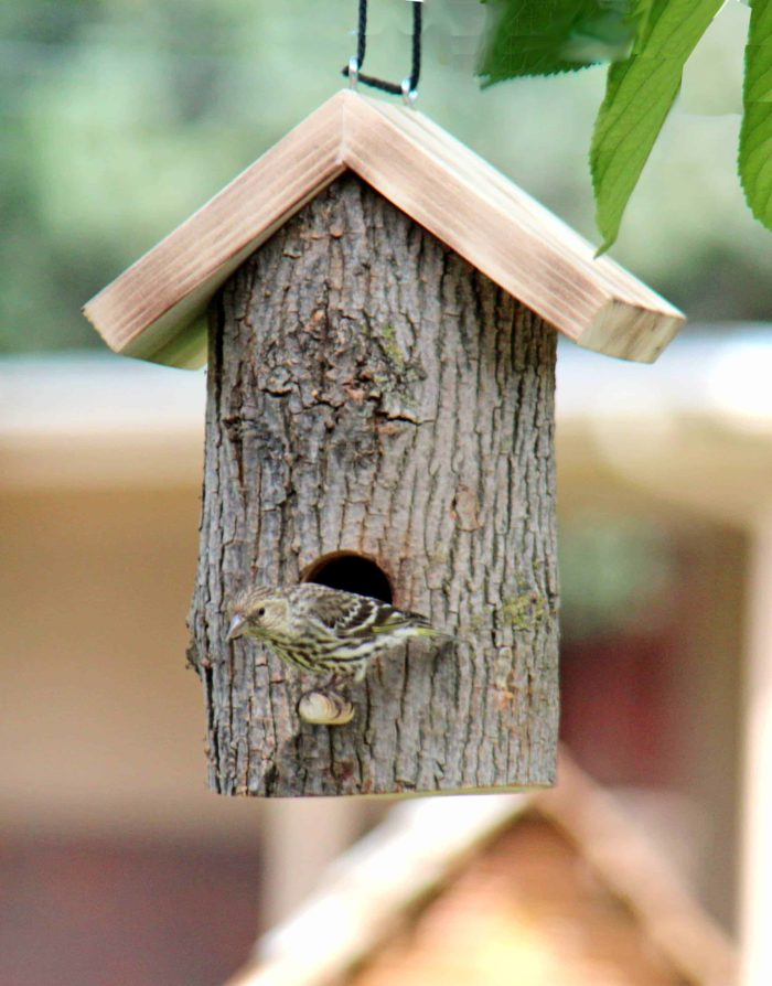 Pine Siskin visiting a log birdhouse from a woodworking plan