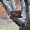 Pine Siskin bird on our log bird feeder from a woodworking plan