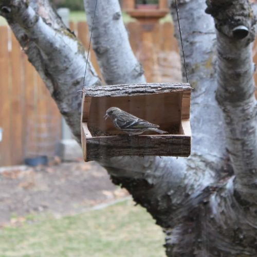 Pine Siskin bird on our log bird feeder from a woodworking plan